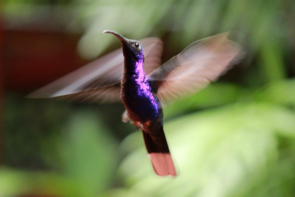 Kolibri La Paz Wasserfallgaerten