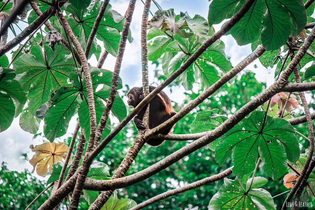 Brüllaffe im Nationalpark Manuel Antonio