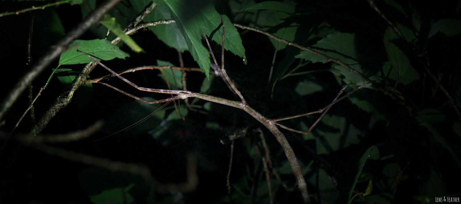 Stabschrecke bei Nacht