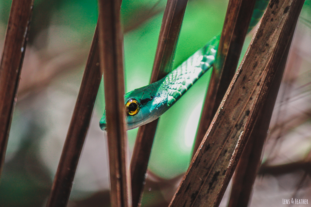 Grüne Viper im Nationalpark Manuel Antonio