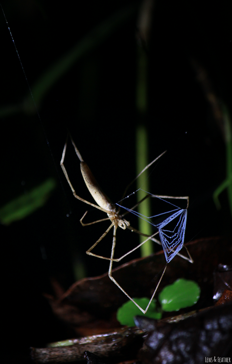 Deinopidae spider by night