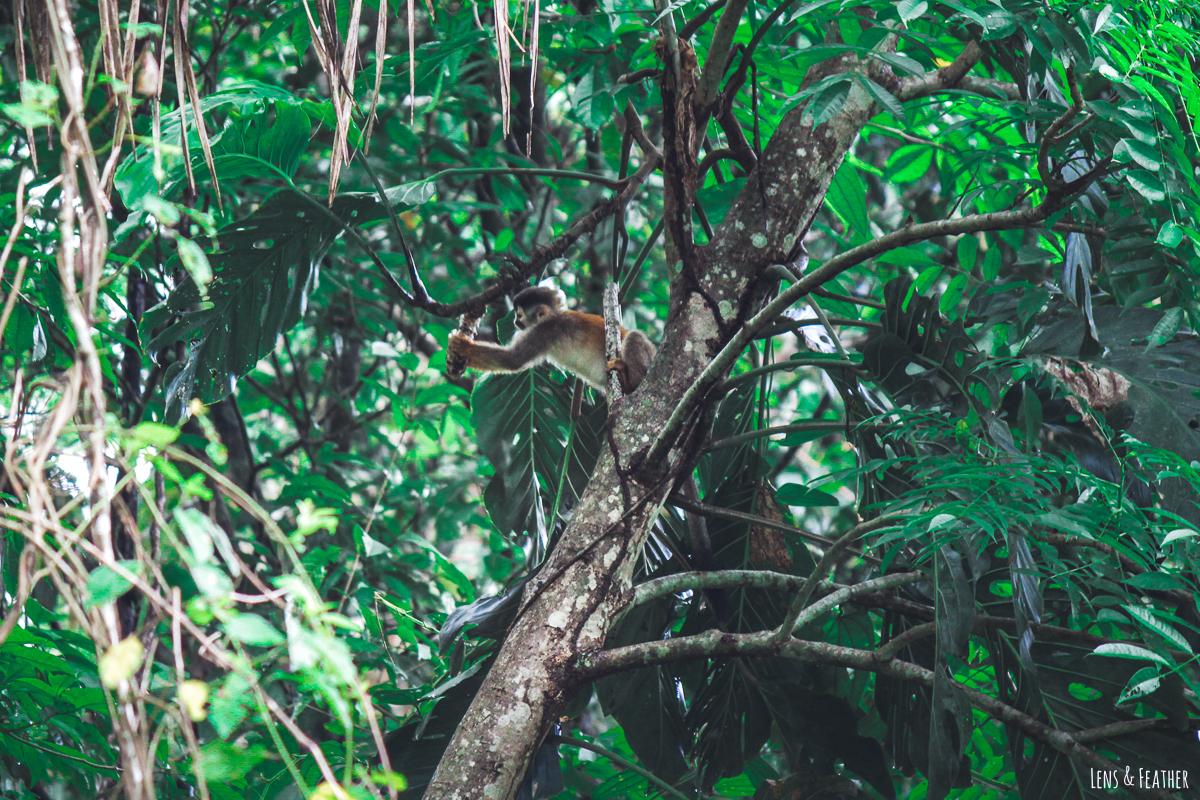 Totenkopfaffe im Nationalpark Manuel Antonio