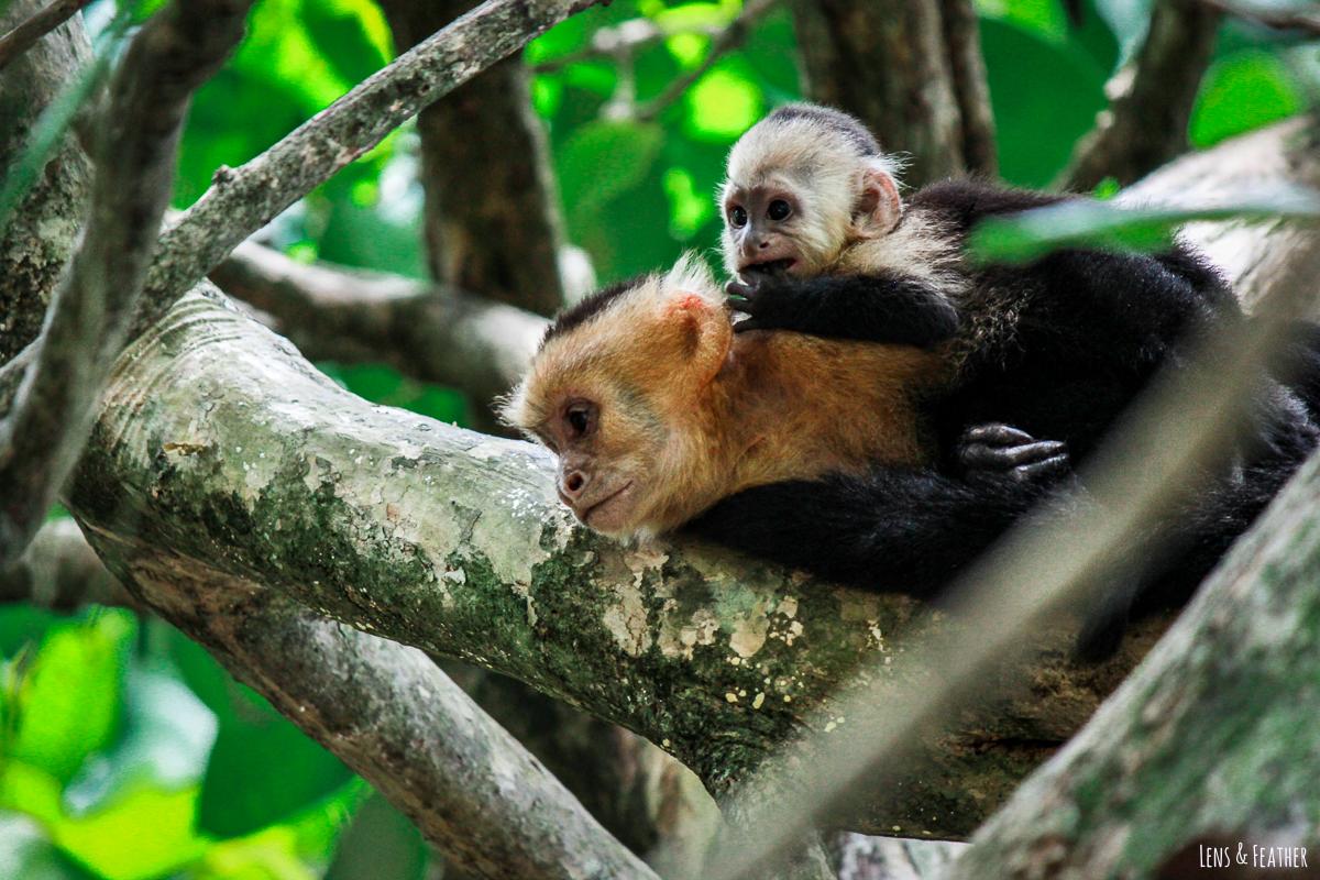 Weißschulterkapuziner Affe mit Baby