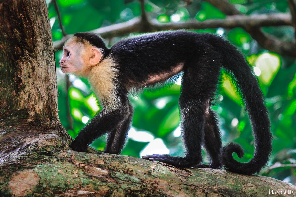 Weißschulterkapuziner Affe im Manuel Antonio Nationalpark