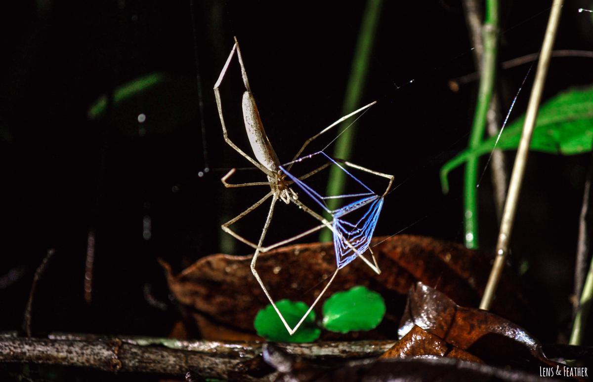 Kescherspinne mit blauem Netz nachts in Costa Rica