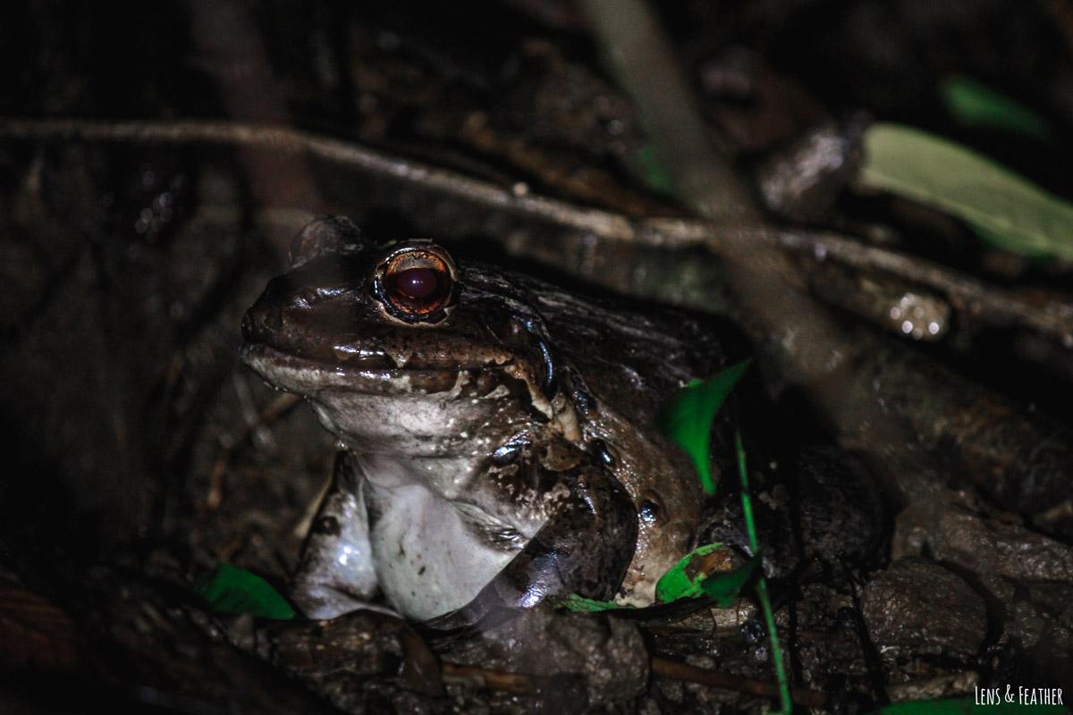 Südamerikanischer Ochsenfrosch bei Nachttour in Costa Rica