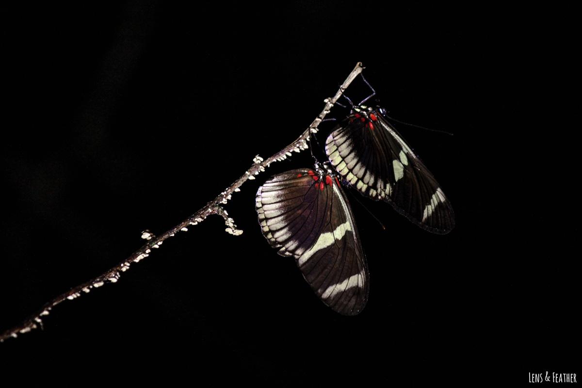 Zwei schlafende Heliconius Schmetterlinge in Costa Rica