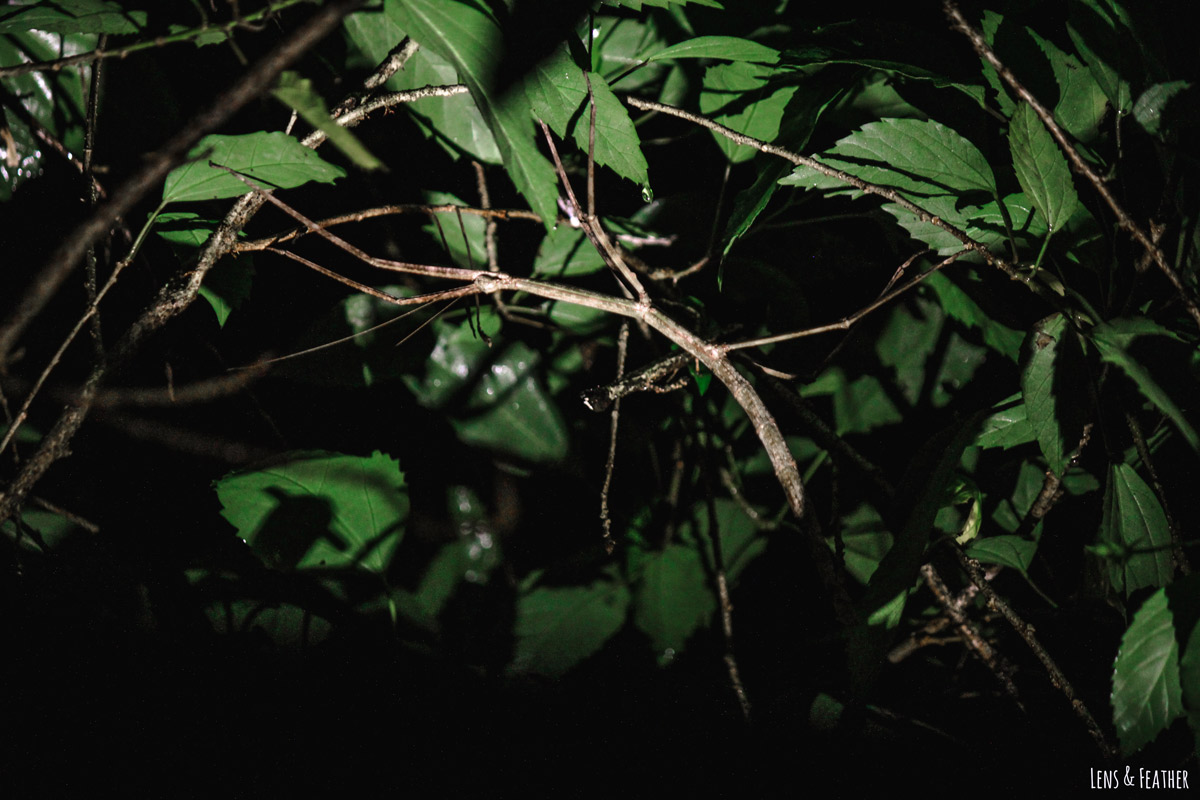 Getarnte Stabschrecke im Geäst des Regenwaldes in Costa Rica bei Nacht