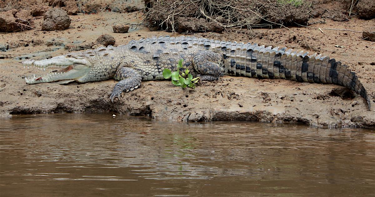 Krokodil am Fluss in Costa Rica