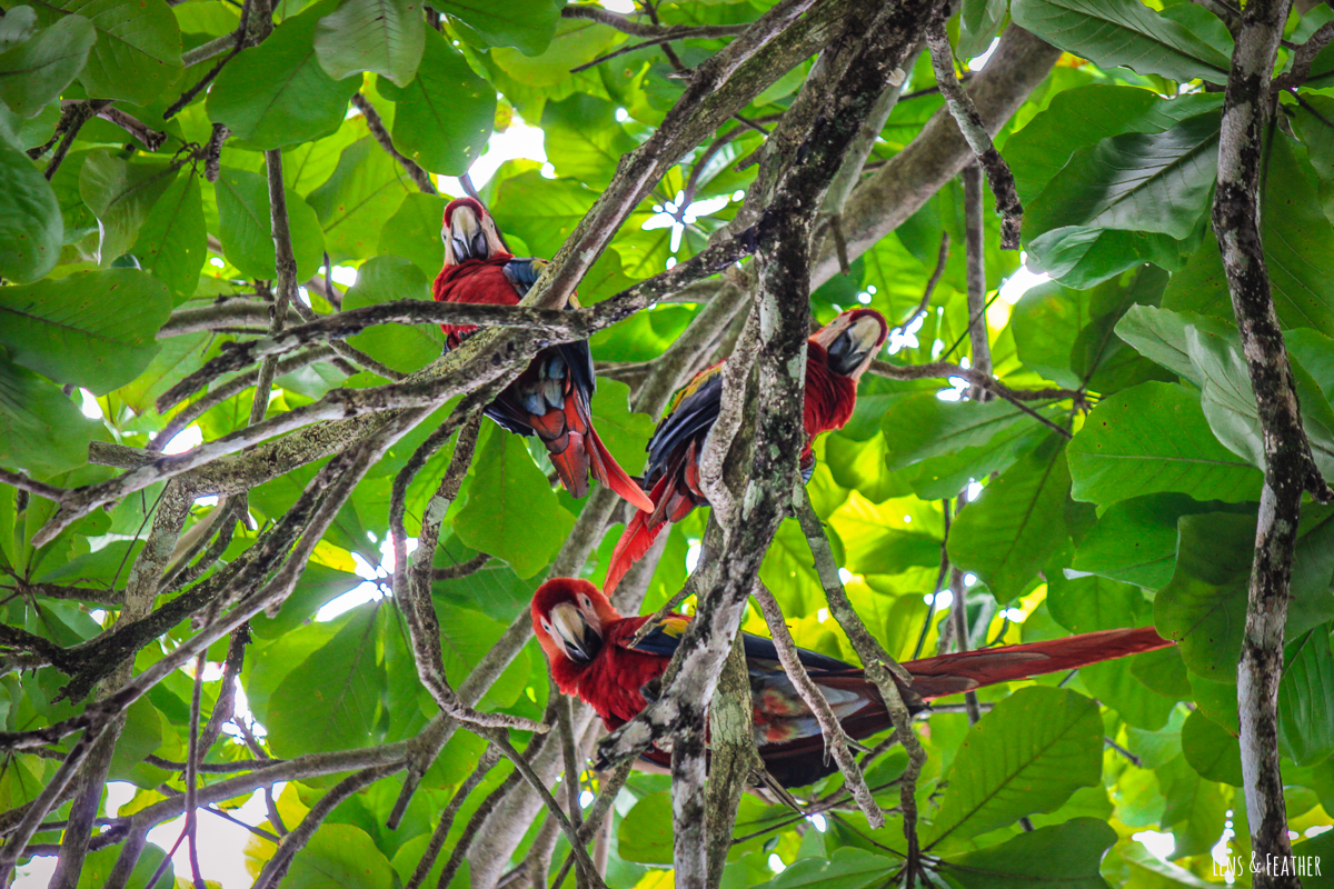 Gruppe Aras in Costa Ricas Baumwipfeln