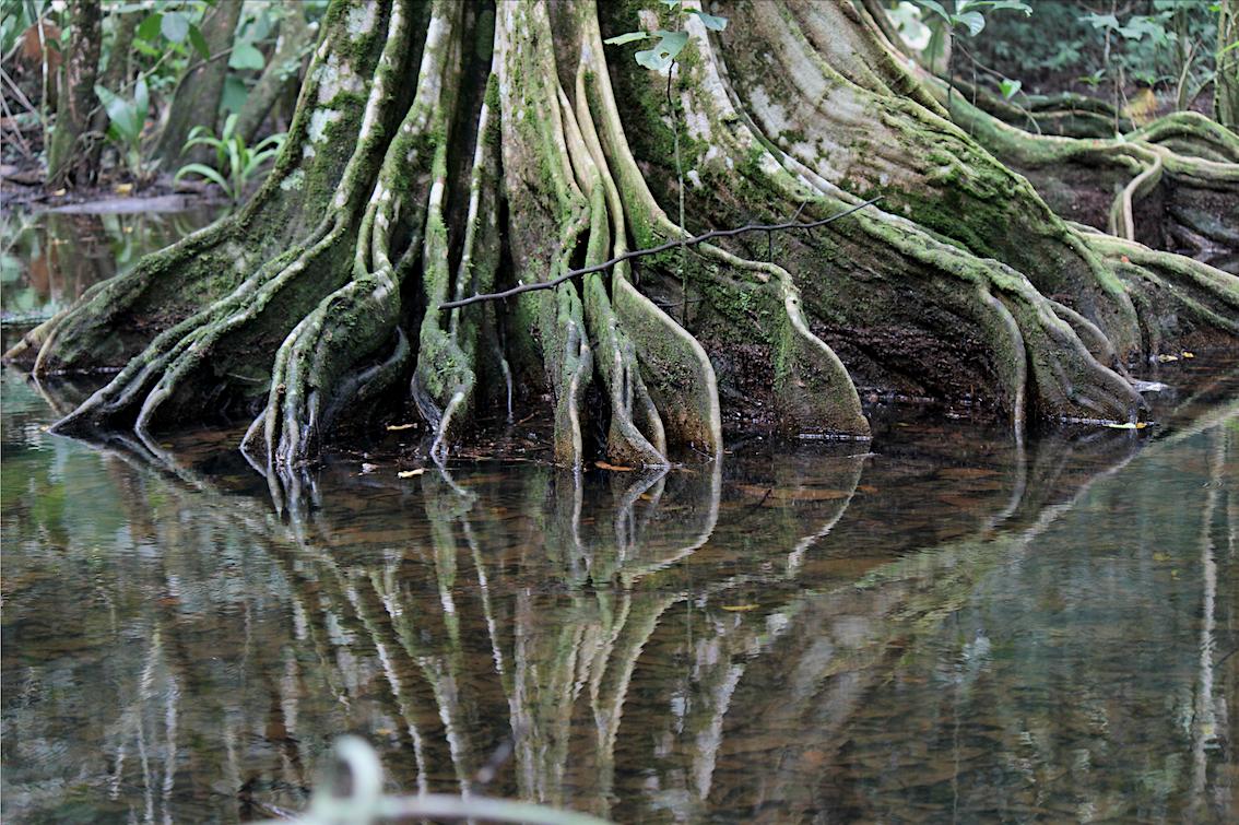 baumwurzeln-im-corcovado-nationalpark