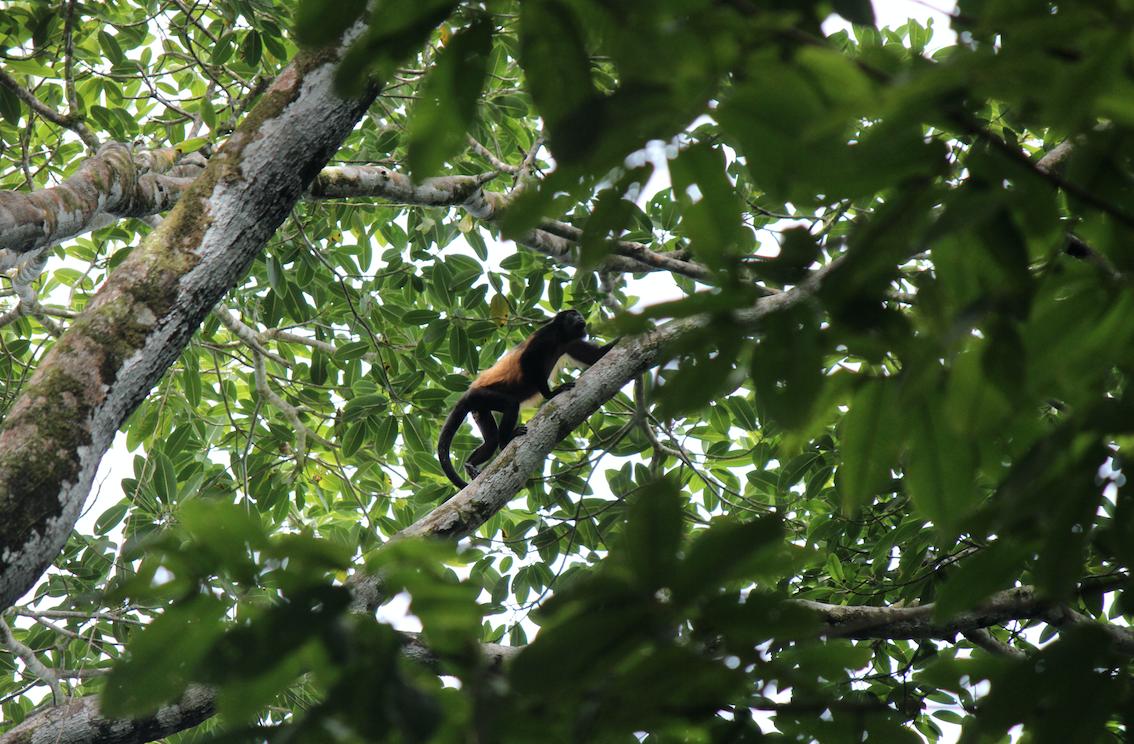 Brüllaffe im Corcovado Nationalpark