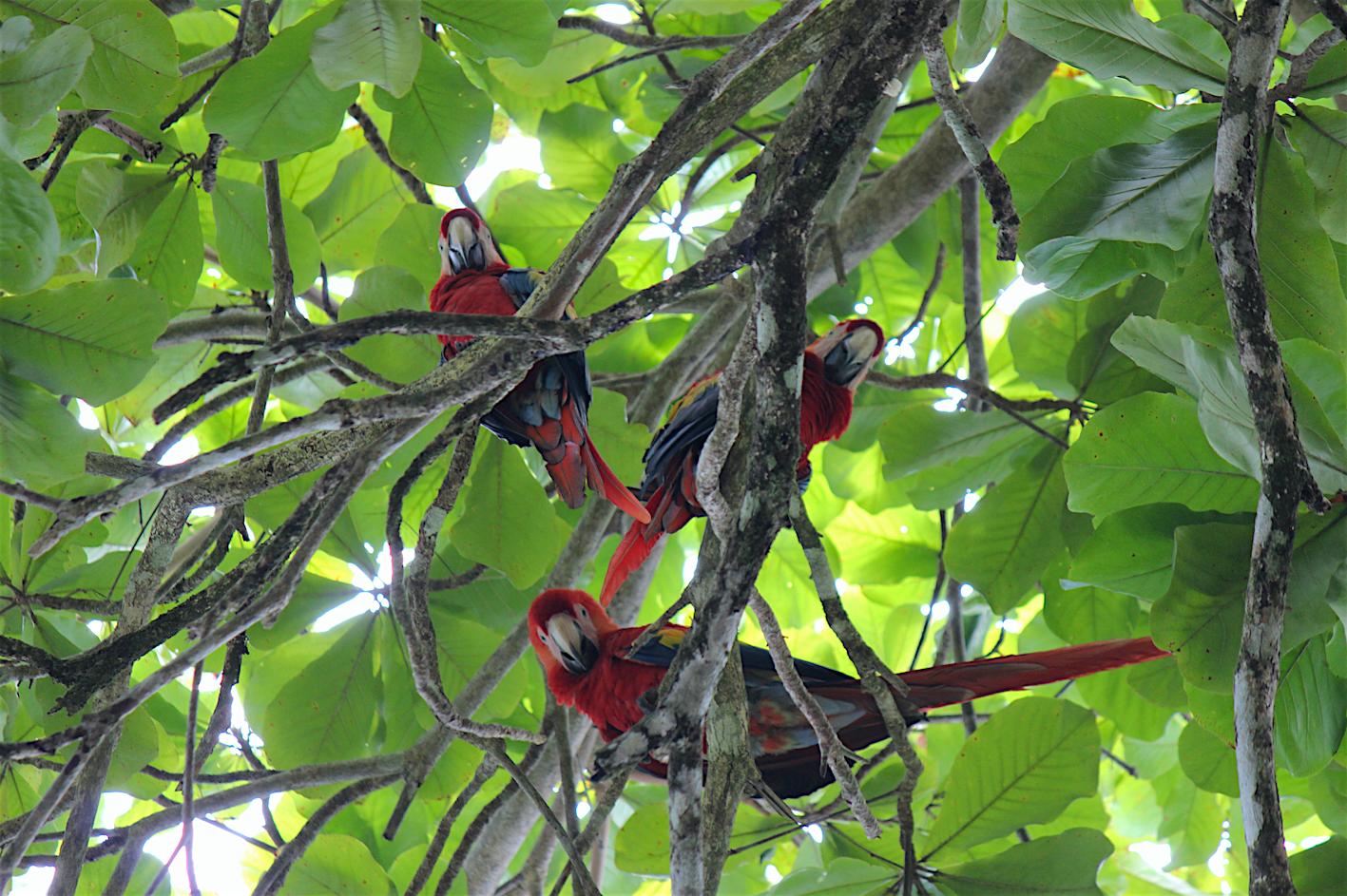 Neugierige Aras im Corcovado Nationalpark