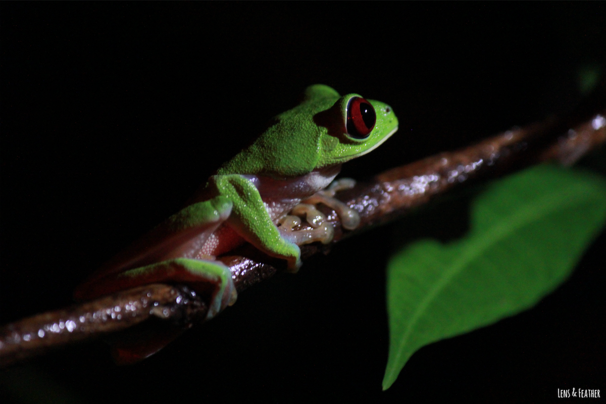 rotaugenlaubfrosch-im-dunklen-regenwald