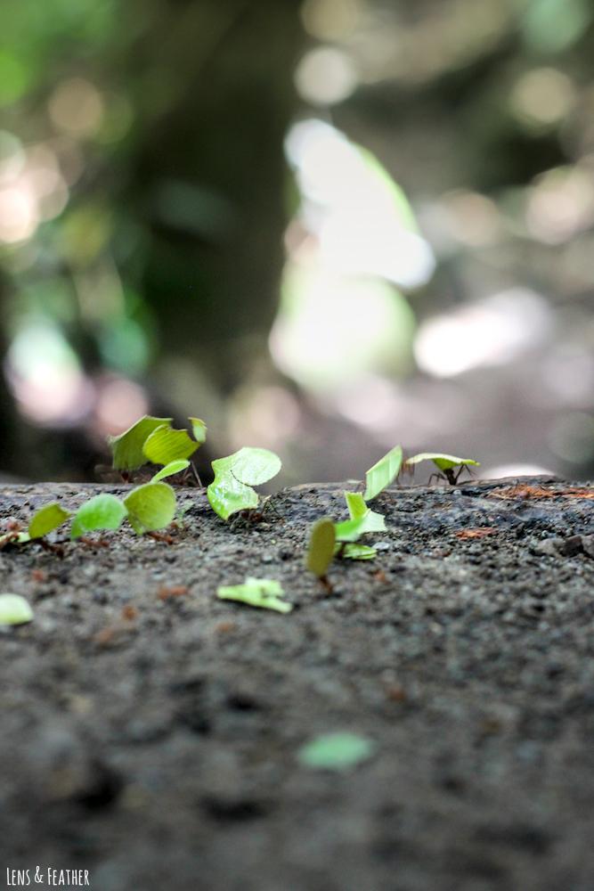 Blattschneiderameisen in Costa Rica