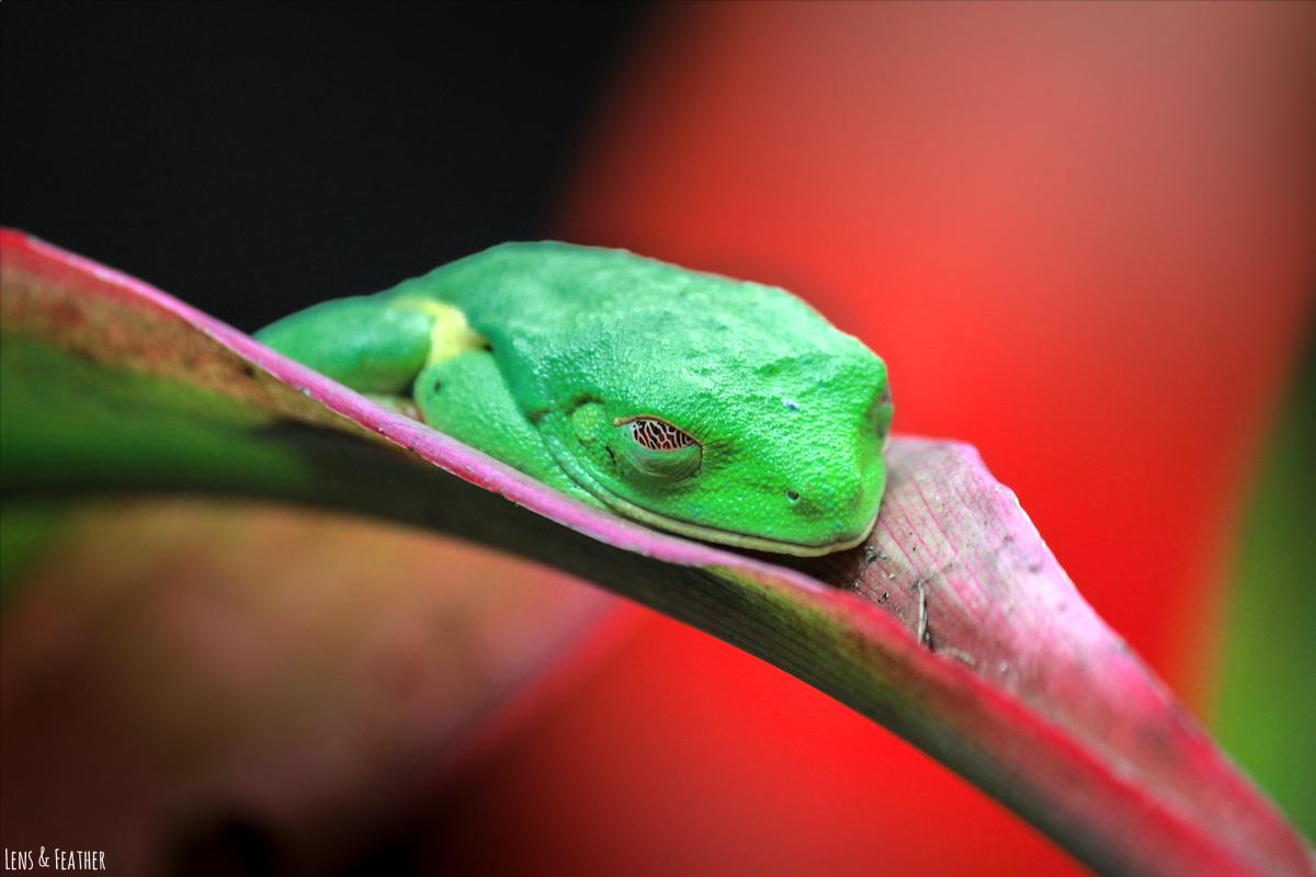 Rotaugenlaubfrosch in Costa Rica