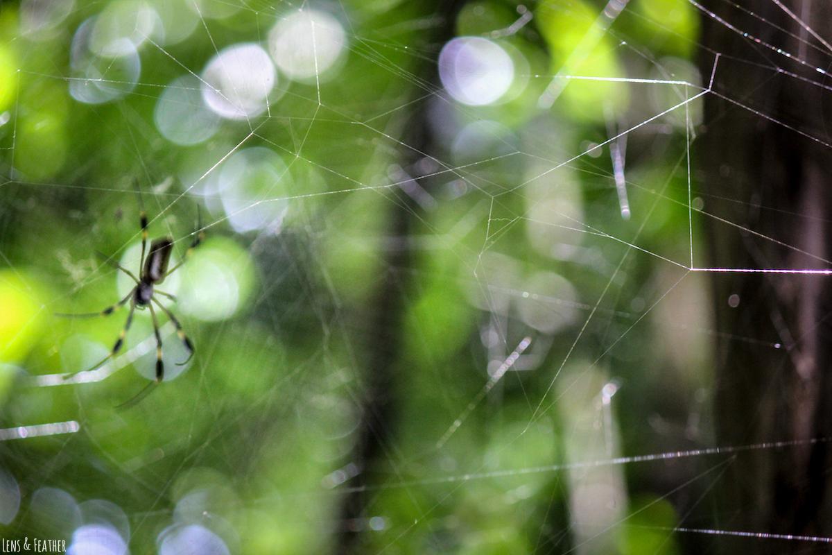 Goldene Seidenspinne in ihrem Netz
