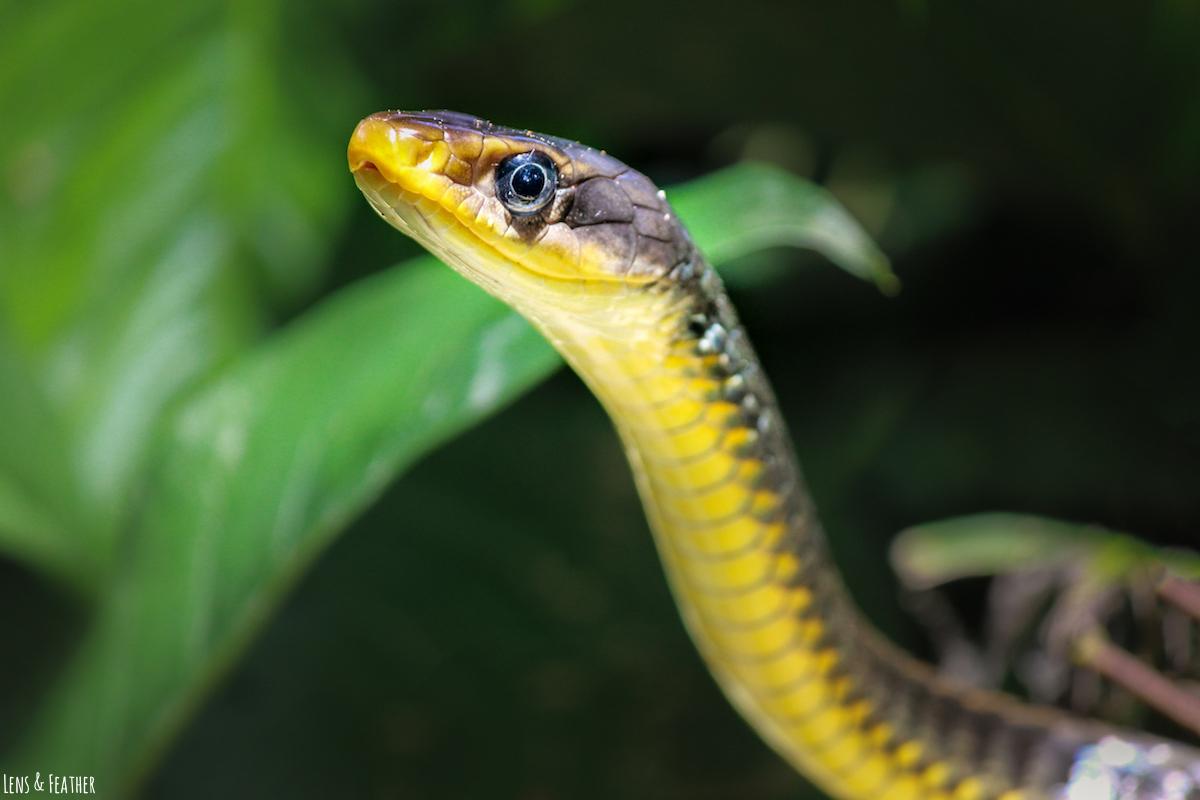 Schlange in Costa Rica