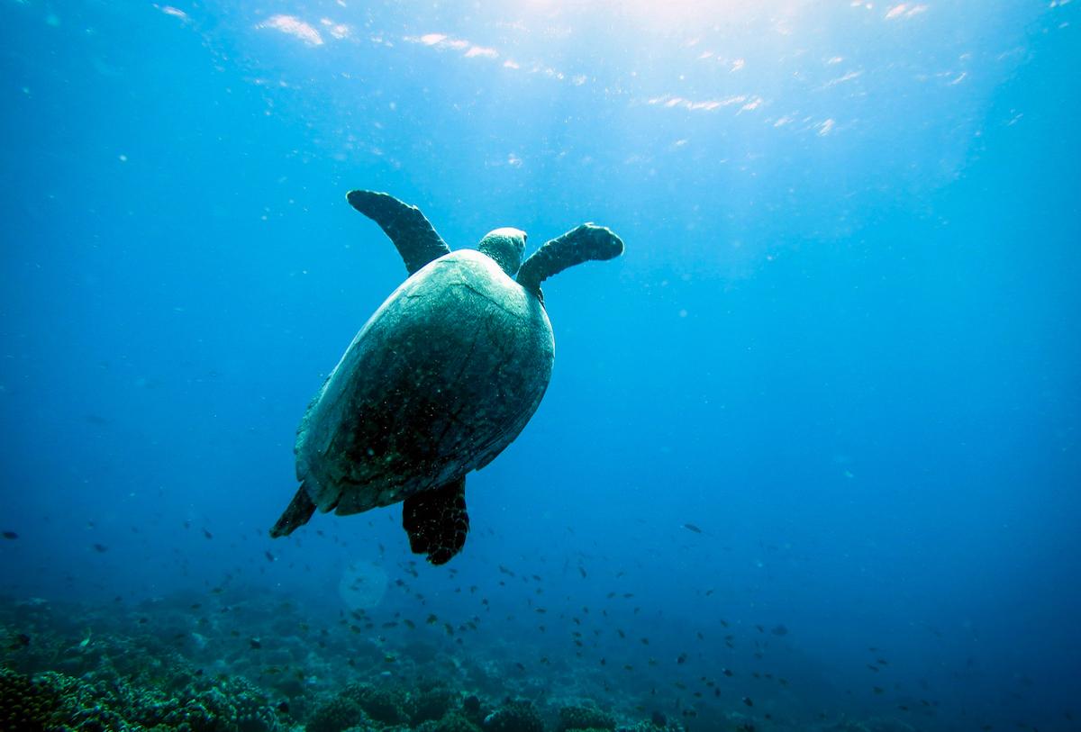 Meeresschildkröte in Costa Rica