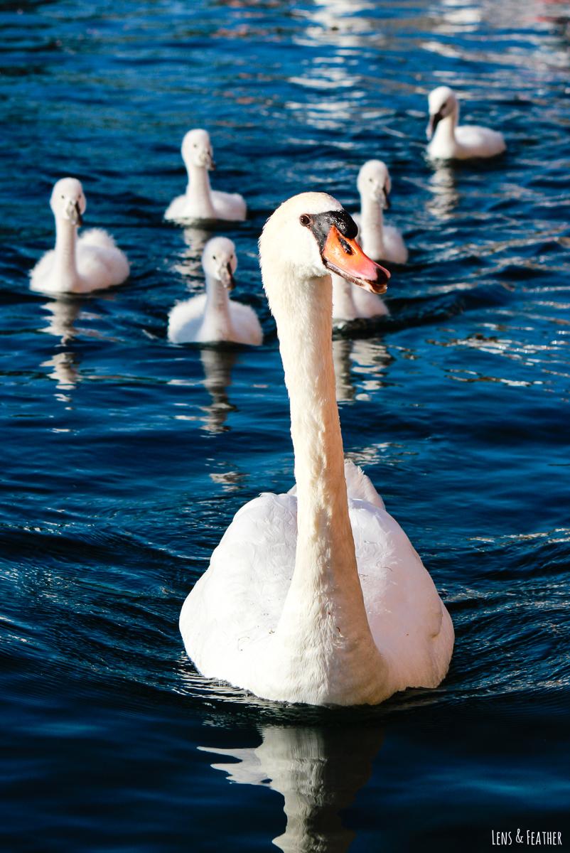 Schwanen Familie auf dem Gardasee
