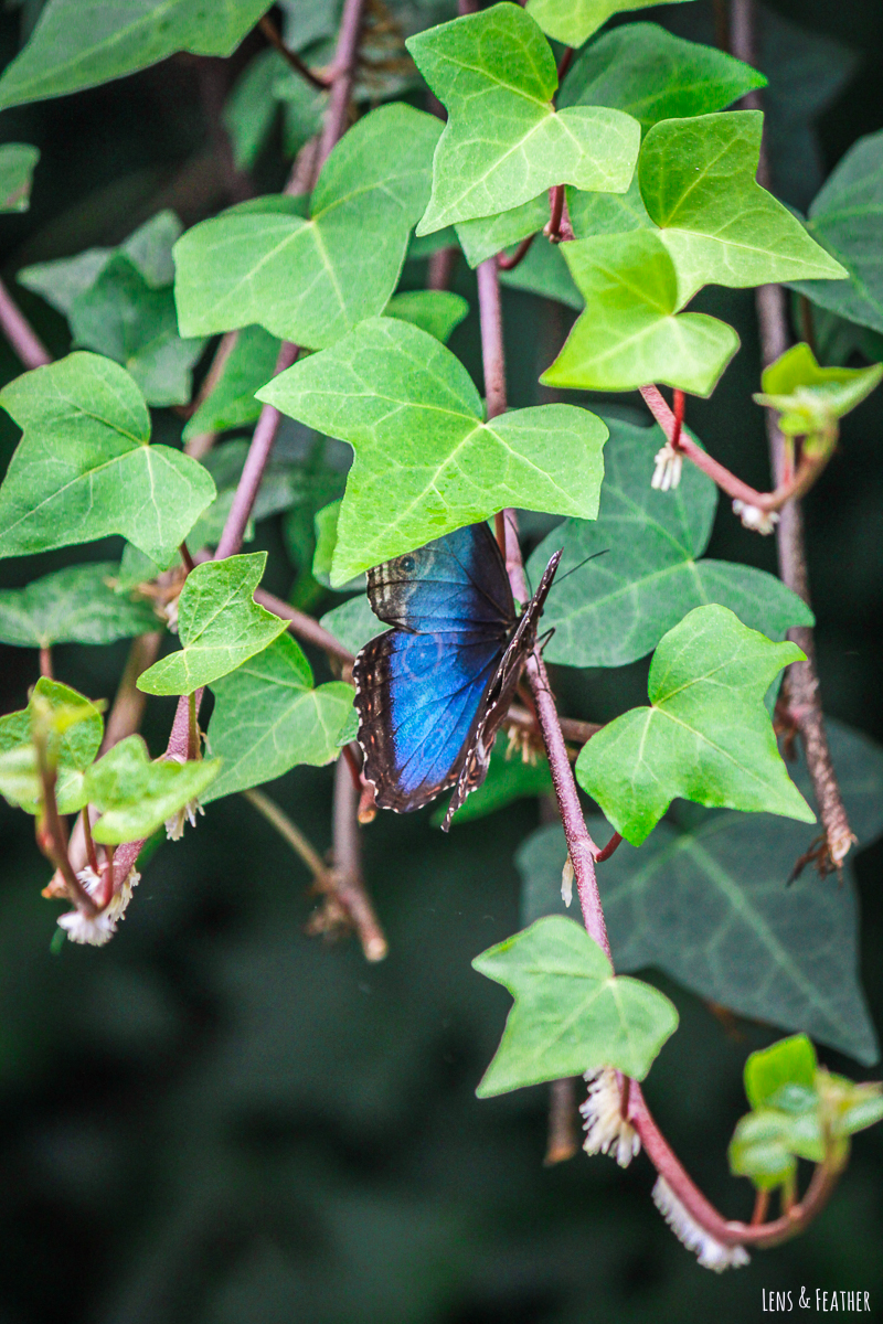 Blauer Schmetterling in Efeuranke