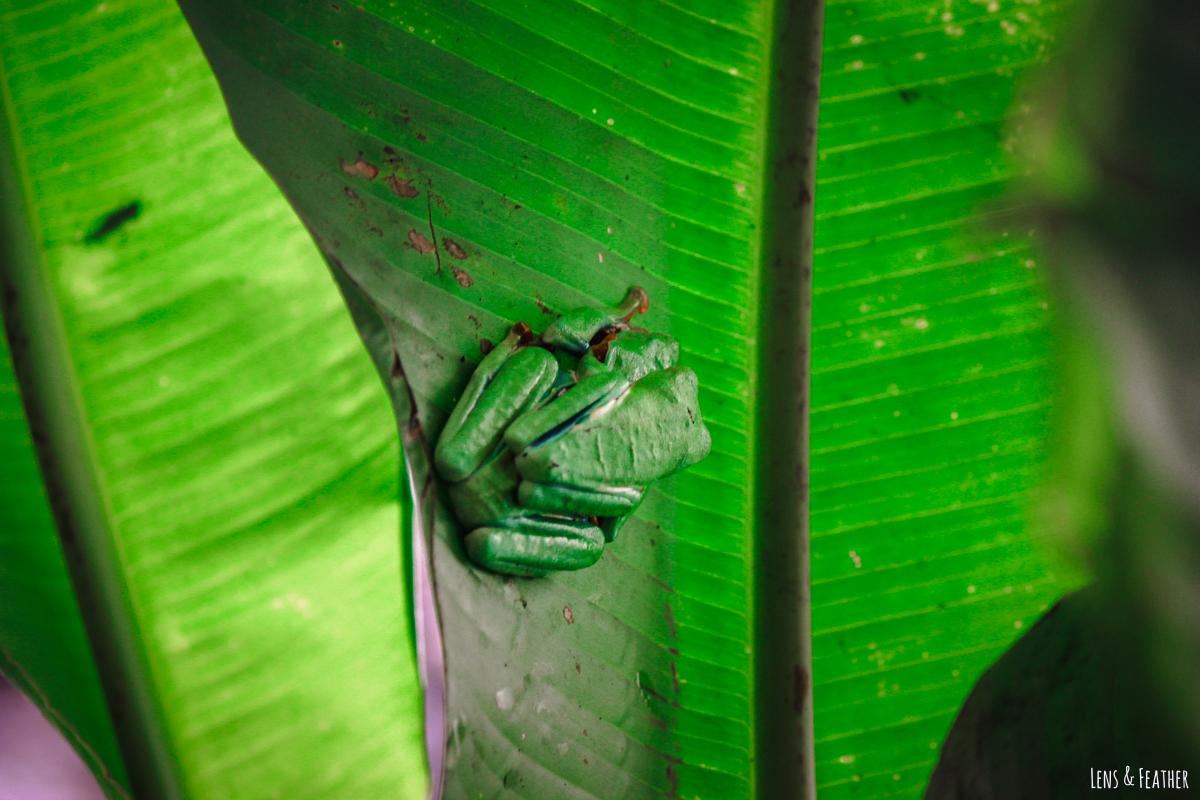 Schlafende Rotaugenlaubfrösche in Costa Rica