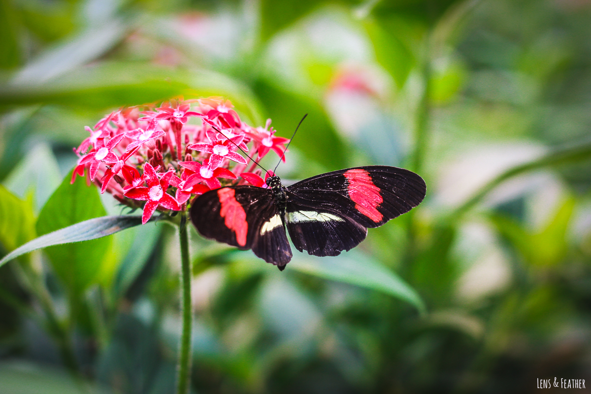 Roter Schmetterling in Costa Rica